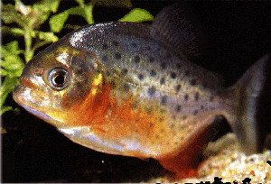 """Résultat de recherche d'images pour """"piranha rouge"""""""